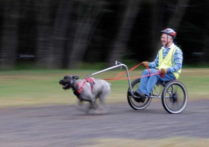 Jim Walsh with his giant schnauzer Tom doing an easy 40 km/hr