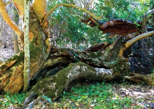 Principle 2: Catch and store energy - Old carob tree