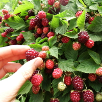 Maximise your yield from Boysenberries