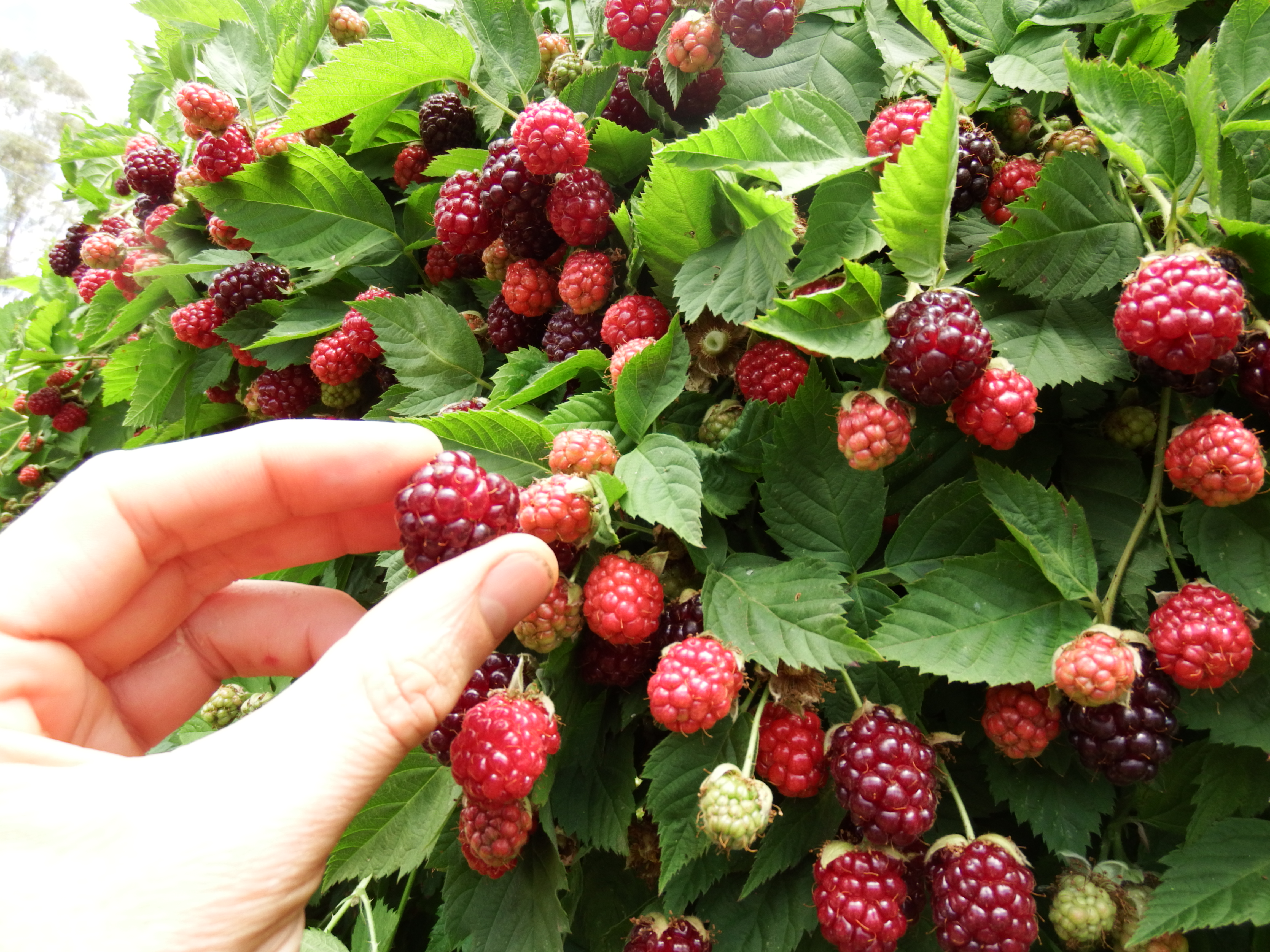 Maximising Yield From Boysenberries Permaculture Principles