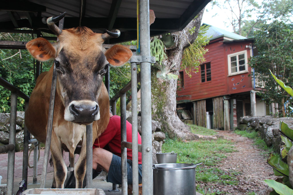 Milking at Dharmananda Community. Photo by Helen Iles.