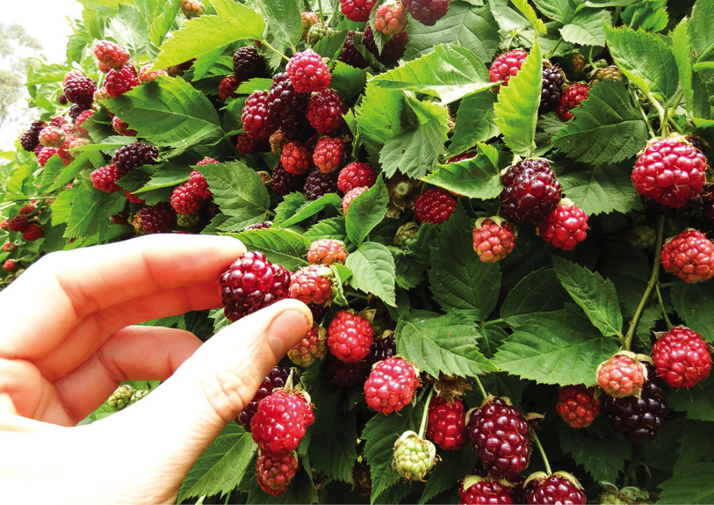 Principle 3: Obtain a yield - Berries in the laneway